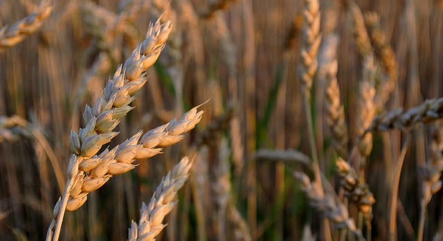 Wheat industry featured in TV episode