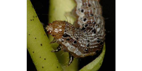 The caterpillar pest Helicoverpa zea (also known as cotton bollworm and corn earworm) has evolved resistance to four Bt proteins produced by biotech crops. (Courtesy of Alex Yelich/University of Arizona)