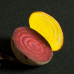 Slices of different colored beets show the presence of betalains, a class of yellow and red pigments unique to the wider beet family, the Caryophyllales. (Courtesy of Sarah Friedrich)