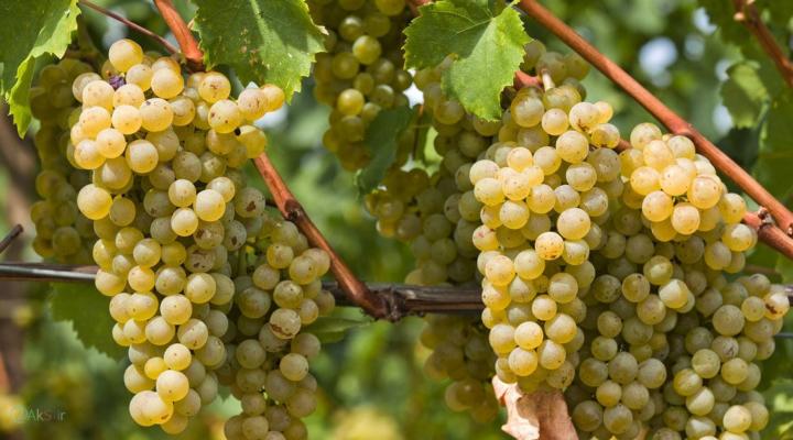 Unique amber wine creates buzz