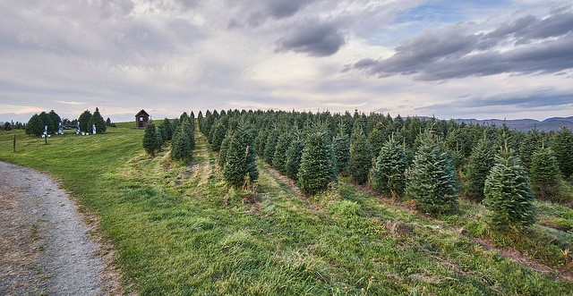 Christmas tree prices expected to rise