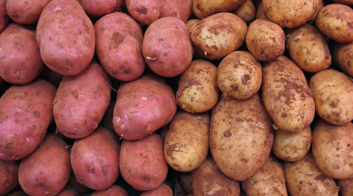 Maine potato harvest back on after heat