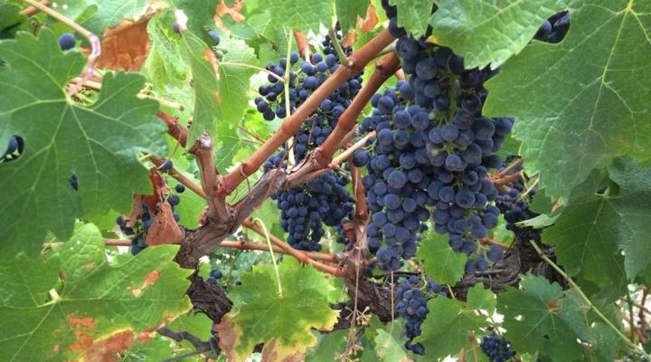 Researchers aim to deter major grape disease
