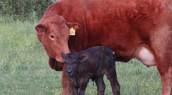 46th Annual South Central Texas Cow Calf Clinic