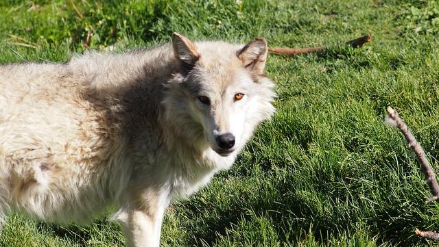 Wolf pack makes 1st confirmed livestock kill