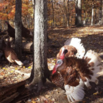 In addition to being given lives on pasture, the turkeys you'll find from CFSA Member Farms in this list are also nutritionally better for you.(Courtesy of CFSA)