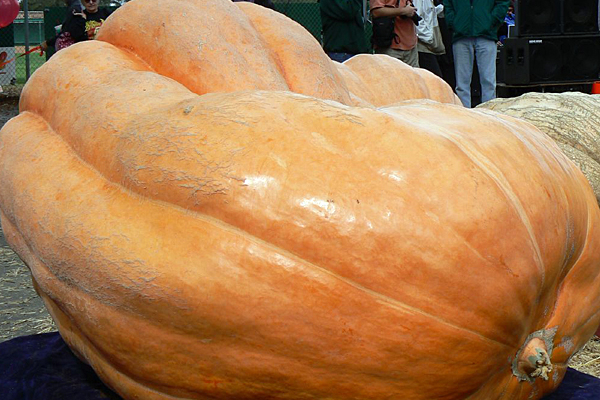 Premier pumpkin tips scales at 1,701 pounds