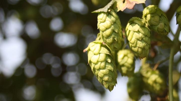 Public hop breeding program to begin