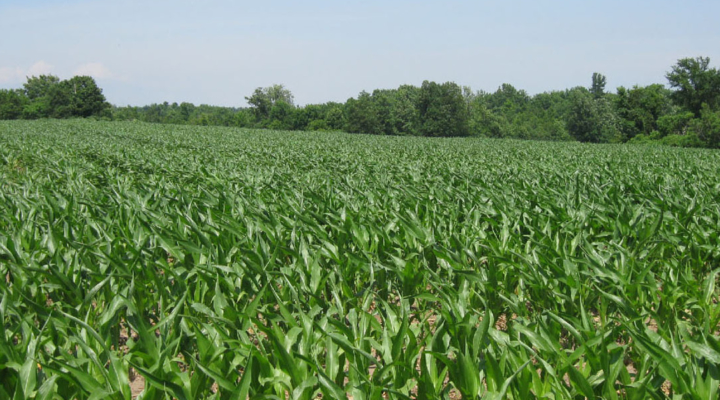 NNY corn yield potential research update