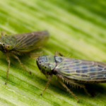 The Insect Allies program is designed to turn insect pests into plant protectors. (Courtesy of NC State University College of Agriculture and Life Sciences)