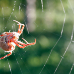 Orb_weaver_spider_day_web