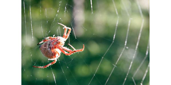 Orb_weaver_spider_day_web