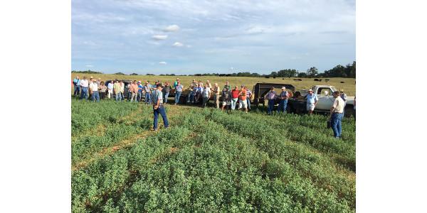 Researchers test alfalfa with bermudagrass
