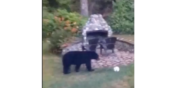 Playful bears have a ball
