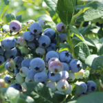 You can purchase a variety of blueberries, muscadines, fruit trees and pecan trees at economical prices. (Courtesy of NC State Extension - Johnston County)