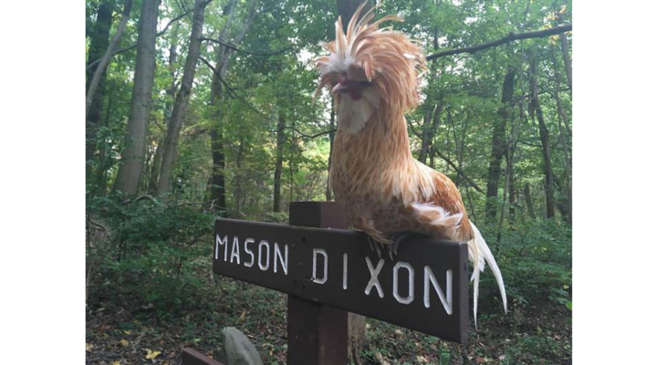 Hiker rescues rooster on Appalachian Trail