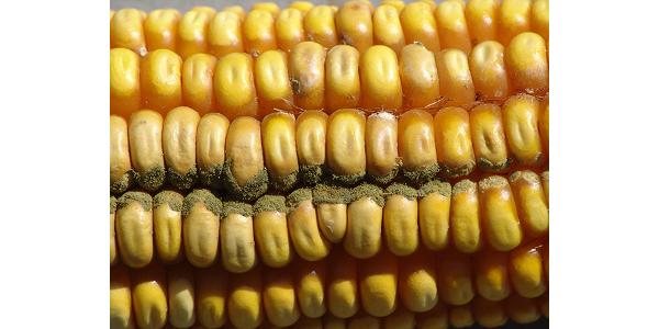 Ear rot diseases developing in some Neb. corn fields