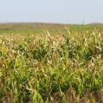 Sorghum-related plants, like cane, sudangrass, shattercane, and milo can be highly toxic for a few days after frost. (Photo courtesy of Troy Walz)