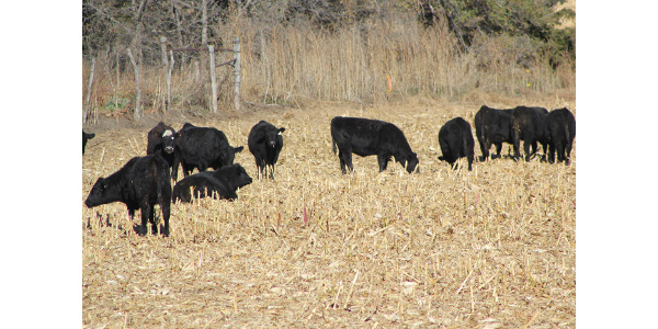 If you are looking to background calves or grow replacement heifers this winter grazing corn residue and providing supplemental distillers may be a system to consider. (Photo courtesy of Troy Walz)