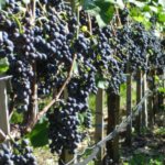 Grapes are still being harvested. (Courtesy of UW-Extension)