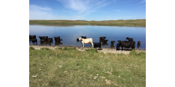 NDSU research improves beef cattle production