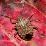 Brown Marmorated Stink Bug (BMSB). (Photo by Michael Jeffords)
