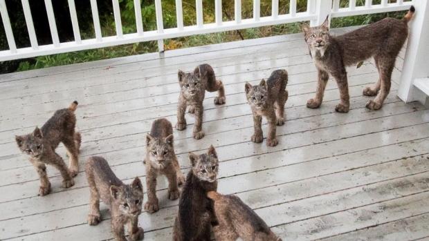 Lynx kittens turn deck 'into a romper room'