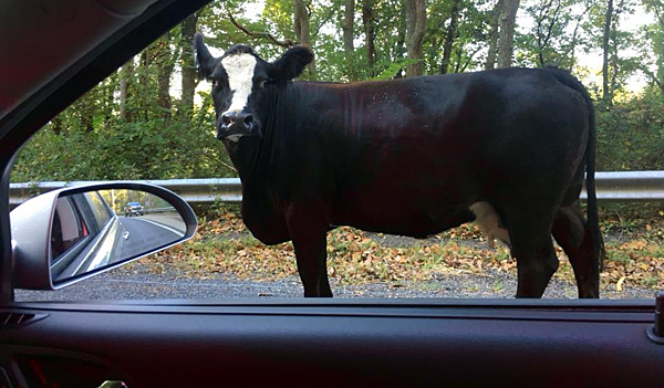 New Jersey state trooper tells cow to mooove it