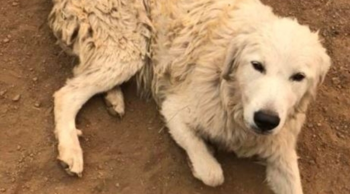 Odin survives fire, saves his goats