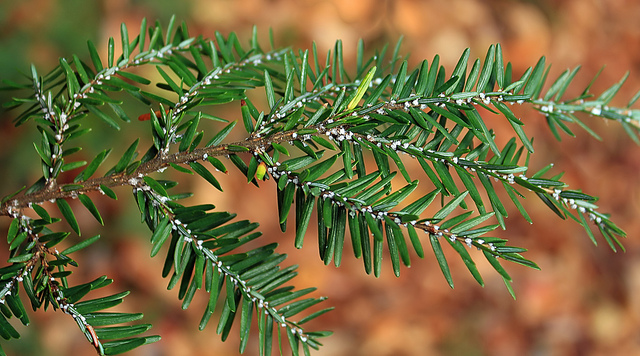 Researching hemlock pest predators