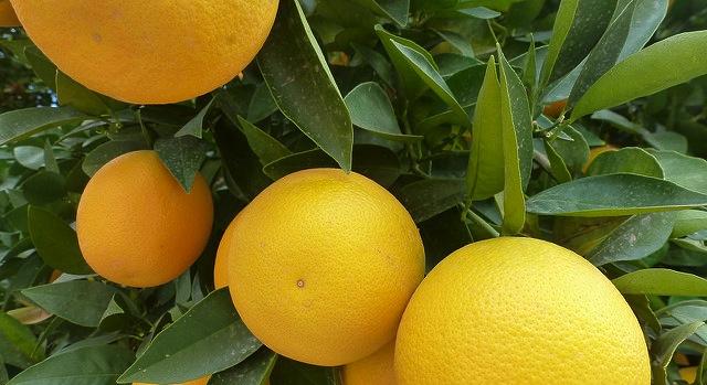 CREC director touts citrus breeding