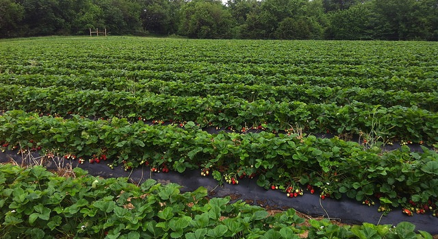 New weed control options for strawberry growers