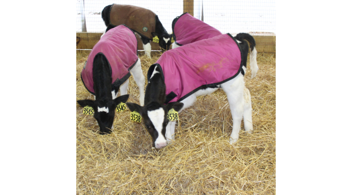 Calf respiratory health in cold weather