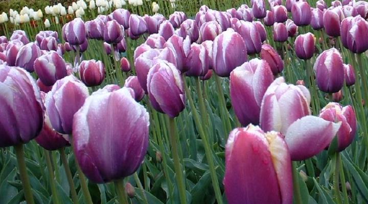 For more spring flowers, multiply bulbs