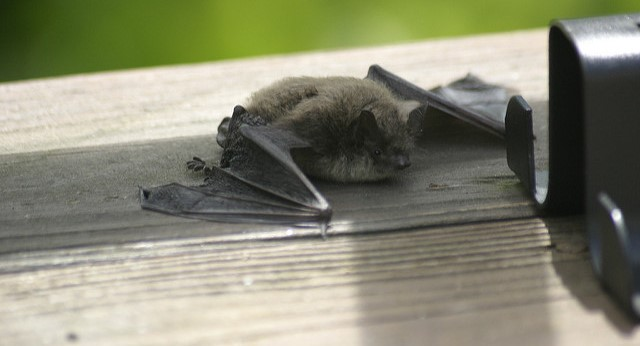 Bats and rabies: How UConn may help