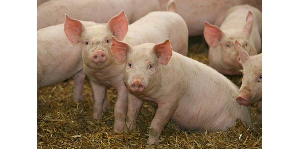 Kansas State University researchers recently completed a feeding study with 1,188 pigs in a commercial research barn, concluding that there are many options to help producers maintain profitability. (Courtesy of K-State Research and Extension)