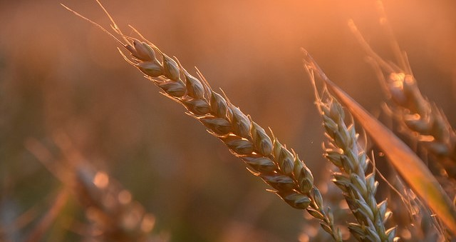 Another tool in battle against wheat pests