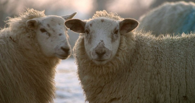 Producing and Selling Quality Sheep