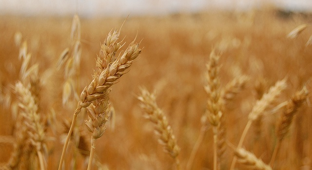 Winners of National Wheat Yield Contest