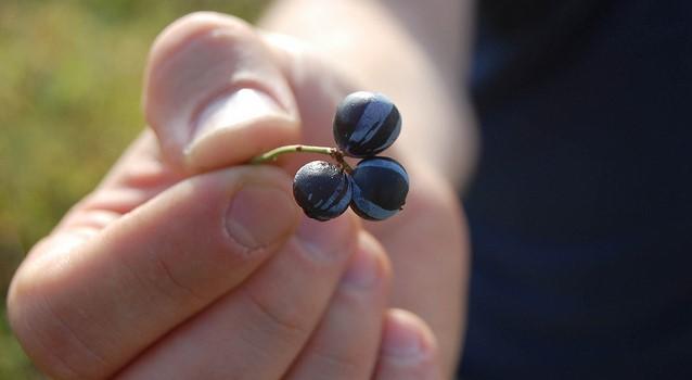 Maine blueberry harvest down