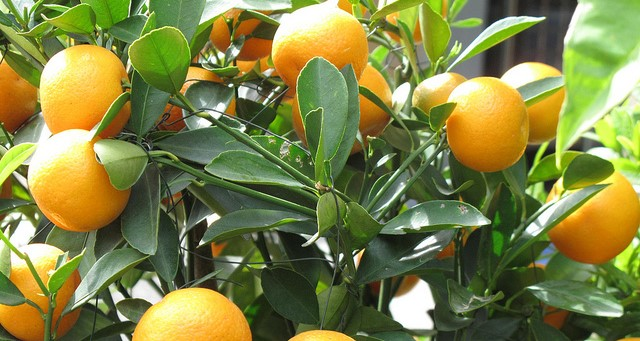 Growers feel the squeeze on citrus industry