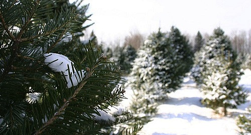 Consider buying a local tree this Christmas