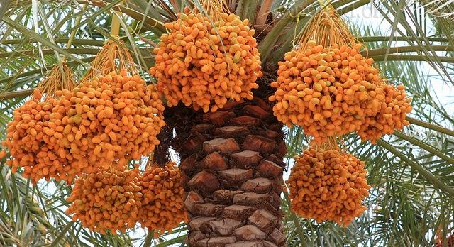 Invasive weevil threatens palms, dates