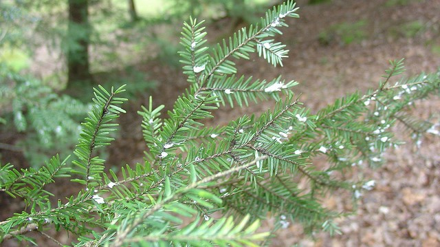 Tick, Trees, and Invasive Insects