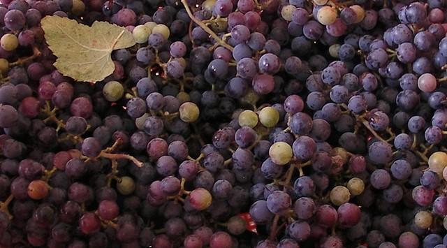 Genomic study reveals wild past of grapes