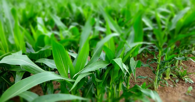 Consequences of breeding highly productive corn