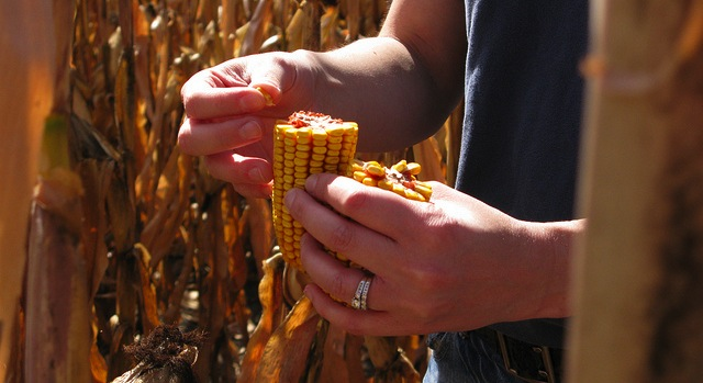 Discovery could lead to more nutritious maize