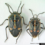 Female (left) and male bagrada bugs. These insects are about 1/4 inch long. (Photo by Gevork Arakelian, LA County Dept. Agriculture, Bugwood.org)