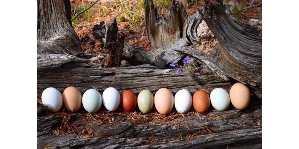 Winner of Purina® Flock-Tober® Fresh Egg Face-Off