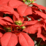 University of Illinois Extension horticulture educator Ron Wolford has a few facts to share about poinsettias. (Courtesy of University of Illinois Extension)